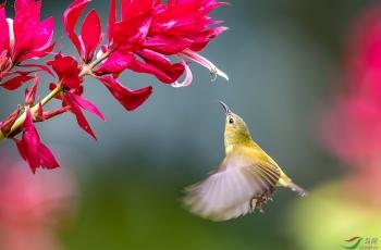 华南植物园赤包花与太阳鸟