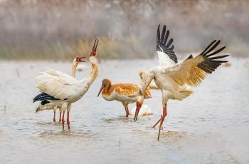 白鹤与天鹅(4)