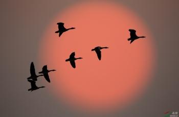 鄱阳湖的小天鹅