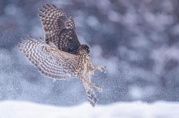 猎手-----苍鹰(恭贺荣获每日一图)