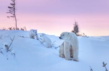 北极熊和它的两个熊宝宝 (恭贺老师佳作荣获每日一图)