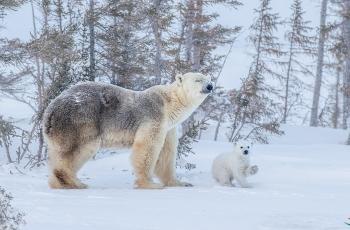 北极熊和它的两个熊宝宝