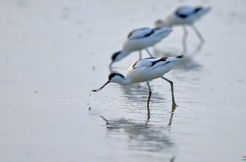 冬候鸟--反嘴鹬