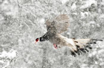 雪中飞---祝贺佳作荣获每日一图