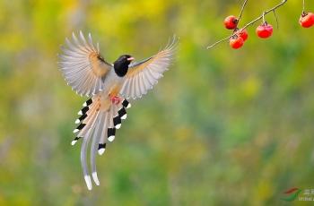 感谢浏览!深秋里的蓝鹊。
