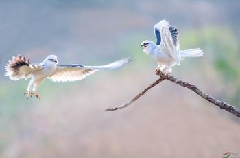 黑翅鸢(获首页鸟类精华)