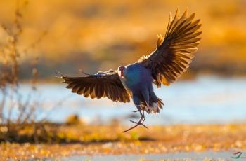 紫水鸡(获首页鸟类精华)
