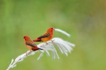 红梅花雀(贺获鸟类精华)