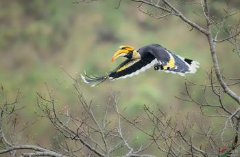 冠斑犀鸟公鸟