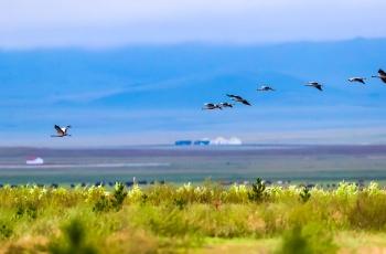 草原是蓑羽鹤的天堂。