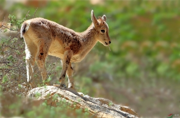 幼岩羊遍体鳞伤顽强生存