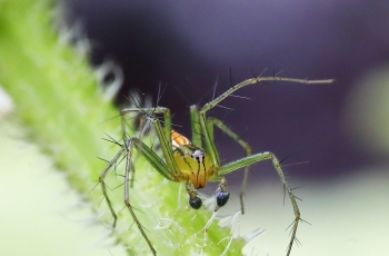 蟹爪蛛【贺获首页动物精华】
