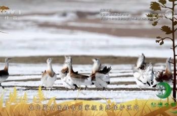 央视《秘境之眼》大鸨-20191117—北京紫檀作品