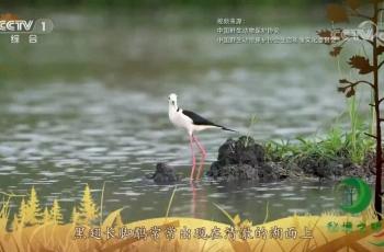 央视《秘境之眼》黑翅长脚鹬(上)-20191222—南京沧海作品