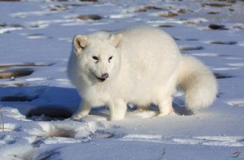 北极狐【贺获动物精华】