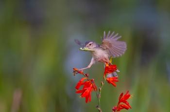 鹪莺——单腿支撑!