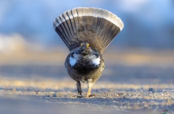 晨光漫步---蓝镰翅鸡