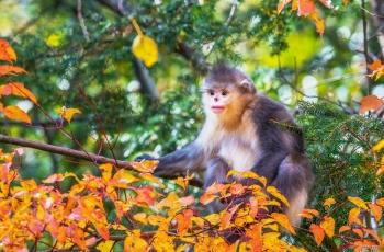 滇金絲猴---(恭賀獲首頁精華)