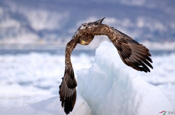 流冰-海雕-飞姿一瞥
