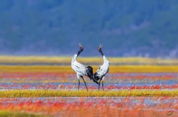 《红毯飞歌》------黑颈鹤