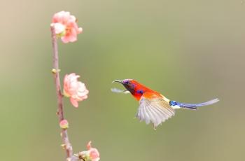 蓝喉太阳鸟——展翅!
