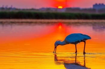 夕阳下的觅食(祝贺荣获首页鸟类精华)