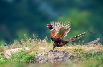 欢快的环颈雉
