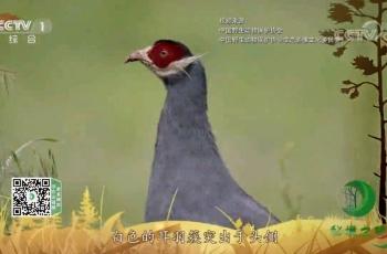 央视《秘境之眼》蓝马鸡(下)-20200113—夏羽作品