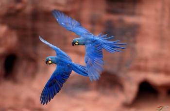 从大西洋雨林到亚马逊——巴西北部拍鸟之旅(祝贺老师佳作荣获每日一图)