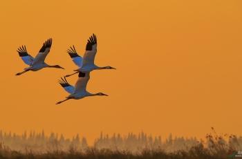 飞翔——白鹤
