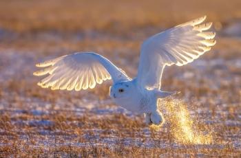 飞行抓猎物--雪鸮