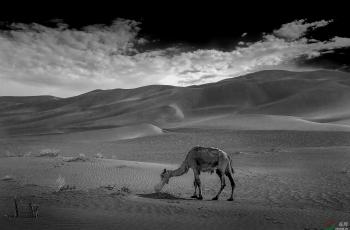 沙漠瘦驼----祝贺老师佳作荣获VIP黑白影像首页精华!