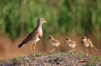 确保鸟儿正常孵化措施之一 --禁止羊群进盐湖