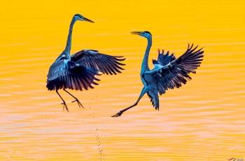 美艳苍鹭:金色朝霞中的对舞