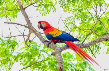 多米尼加国鸟—金刚鹦鹉(祝贺荣获首页图文精华)