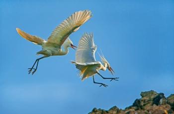 黄嘴白鹭求偶季:领地之争(贺获鸟类精华)