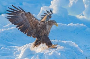 波兰国鸟--白尾海雕(祝贺荣获首页图文精华)