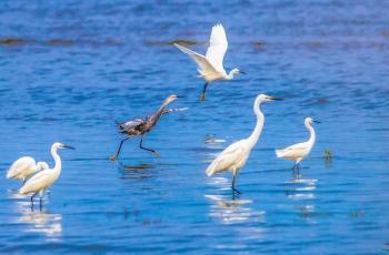 北戴河湿地连续8年记录灰白鹭(图文)——恭喜获得图文精华!