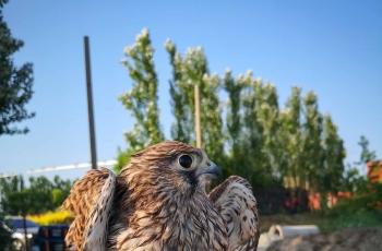爱心助力羽翼未丰的小隼继续翱翔蓝天