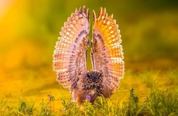 霞光展翅—雕鸮