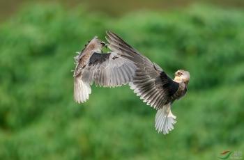 黑翅鸢-祝贺荣获每日一图