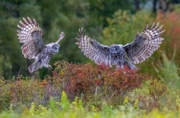 乌林鸮《夫唱妇随》---祝贺荣获每日一图