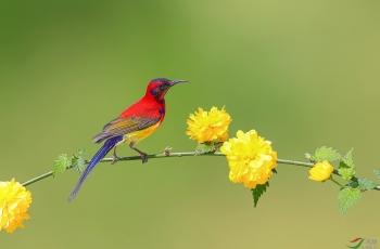 蓝喉太阳鸟------花鸟图(荣获本版佳作) (贺获鸟类精华)