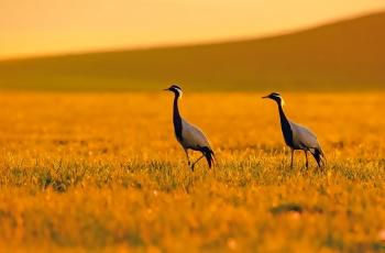 夕阳下的蓑羽鹤