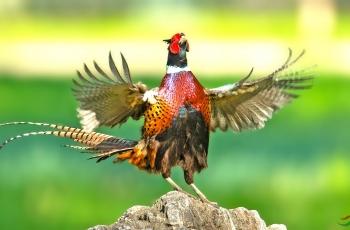 雄鸡起舞(祝贺荣获首页鸟类精华)