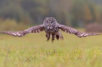 乌林鸮《迎面而来》