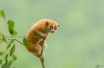 倭蜂猴----祝贺荣获VIP首页佳作!