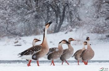 漫步暴風雪----鴻雁 ( 祝贺老师佳作荣获每日一图)