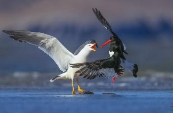 《专横跋扈》-----黑尾鸥抢夺砺鹬食物