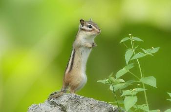 花栗鼠 (贺获动物精华)
